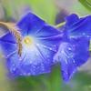 Purple Morning Glories in the rain.