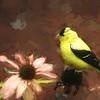 Goldfinch on cone flower.
