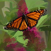Monarch butterfly on pink butterfly bush.