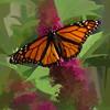 Monarch butterfly on pink butterfly bush.