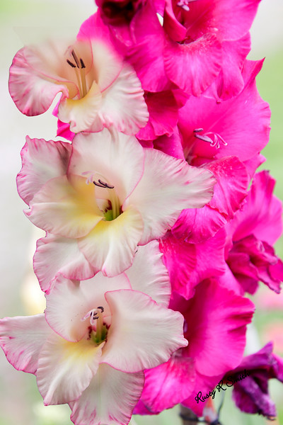 Pink and red gladiolas.
