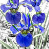 Three small blue Iris.