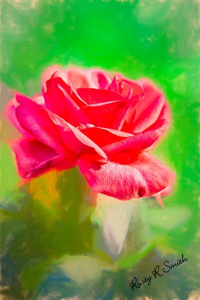 A single soft red rose blossom