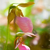 Two beautiful pink lady slippers.