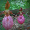 Two lady slippers close-up.
