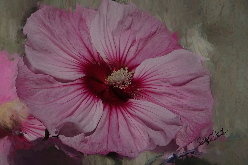 A single pink Hibiscus blossom.