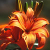 Oange Day Lily.