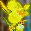 A beautiful yellow cala flower
