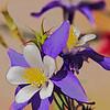A purple columbine blossom.