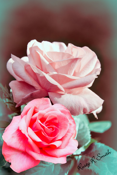 One Red rose and one Pink rose..