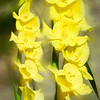 Yellow Gladiola flowers.