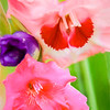 Red,Pink and purple gladiolas.