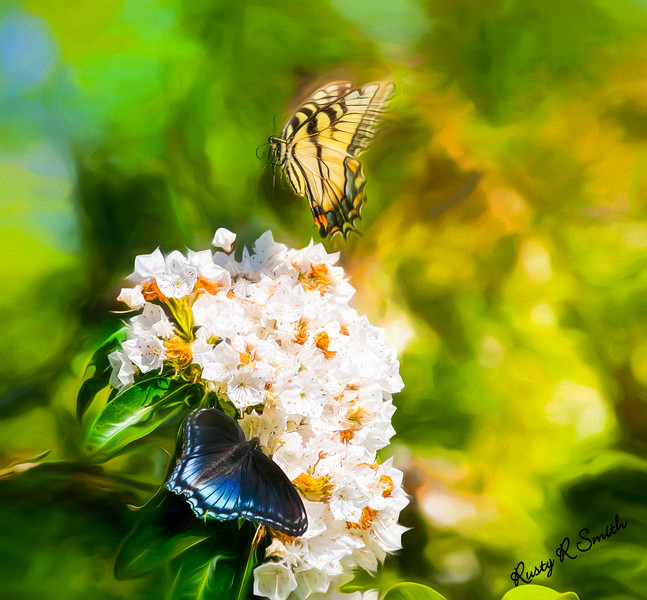 Butterflies on Mountain Laurel flowers.