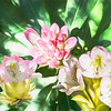 Group of wild rhododendron flowers.