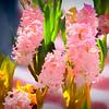 Soft pink hyacinths.