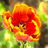 Single open tulip blossom