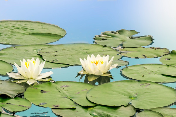 Two water lilly blossoms
