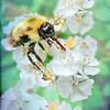 Busy Bee on blackberry blossoms.