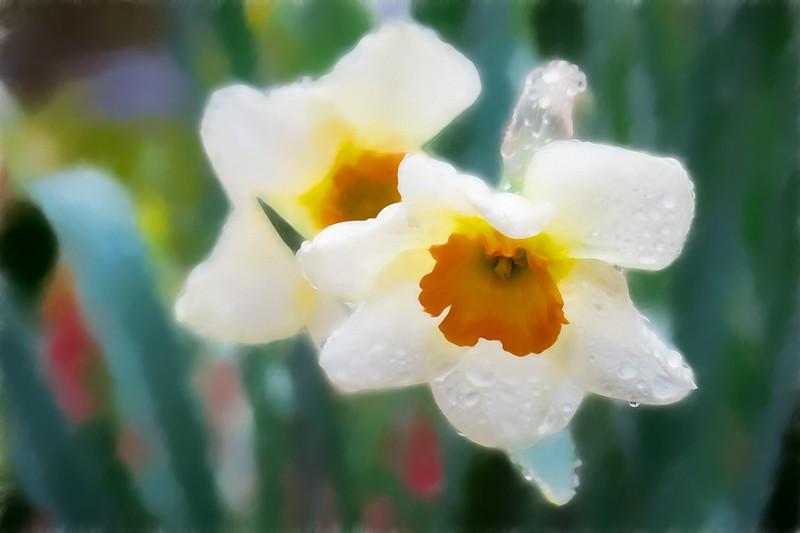 White daffodils in the rain