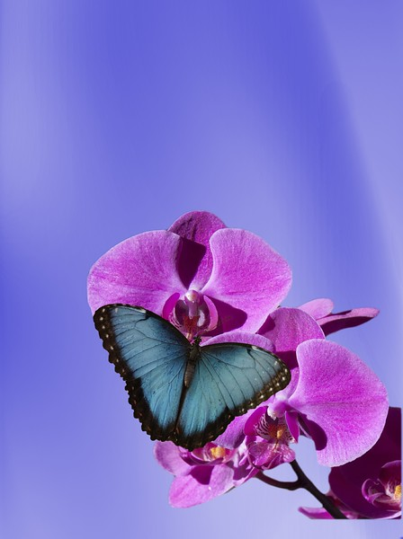 Blue Morpho butterfly on pink orchid.