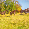 Group of Morgan horses trotting through autumn pasture.