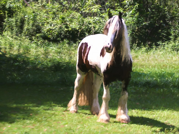 A beautiful Gypsy Vanner horse standing alone,and looking alert