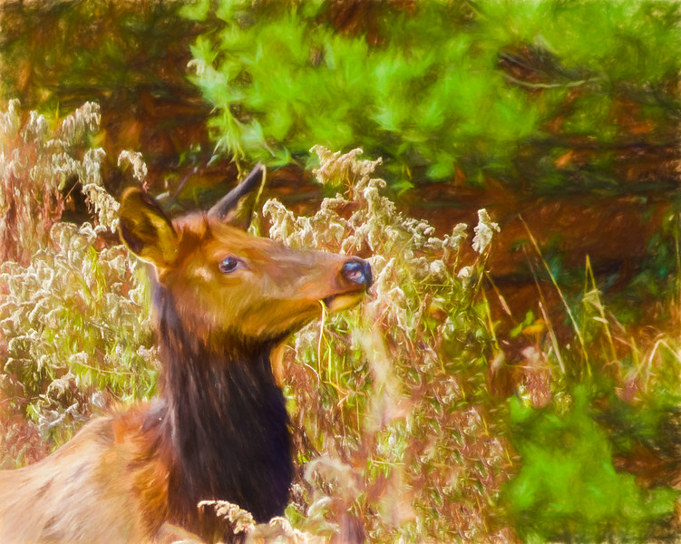 pennsylvania cow elk feeding.