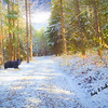 Composite art photograph,black bear in snowy forest scene.