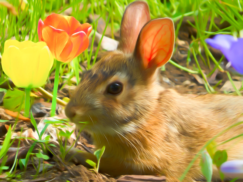 Young conttontailed rabbit feeding near the tulips.