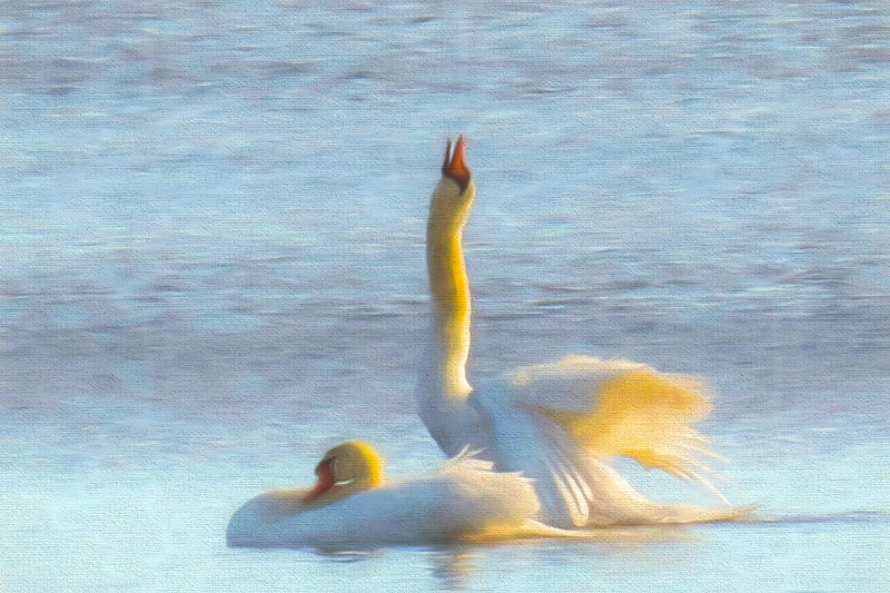 Two swans enjoying life.