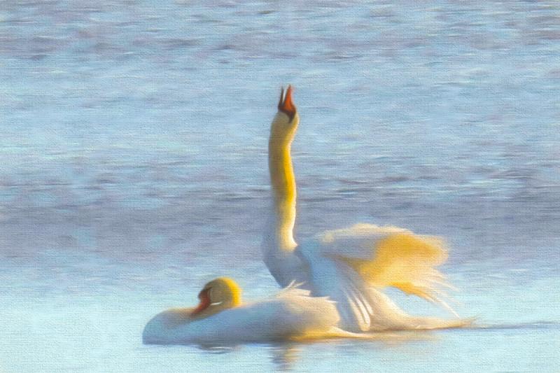Two swans enjoying life.