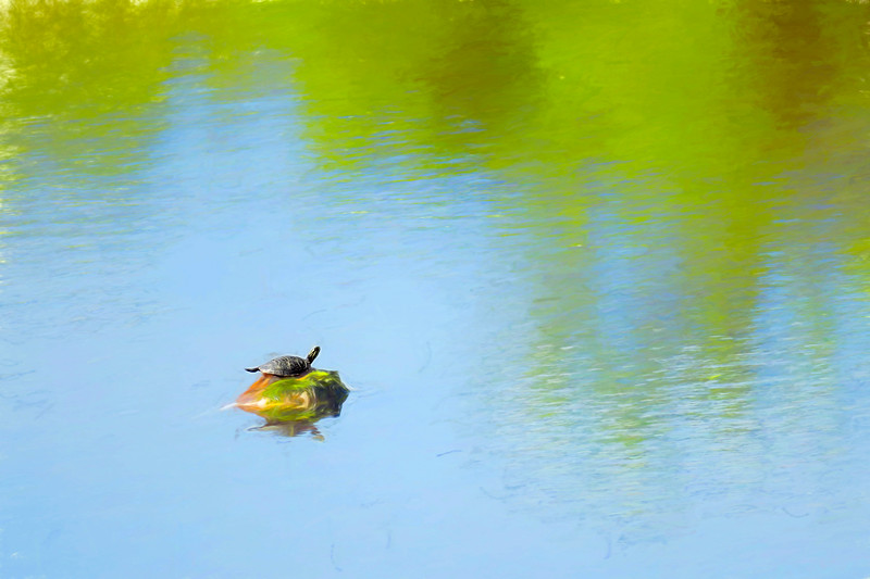 A small painted turtle in a big pond