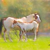 A pinto mare and her foal standing in pasture.