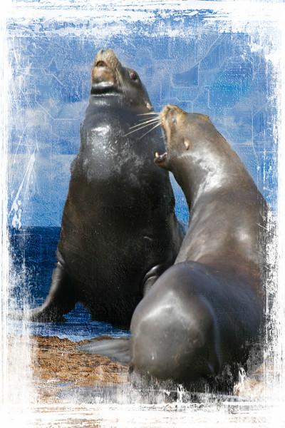 Two California Sea Lions