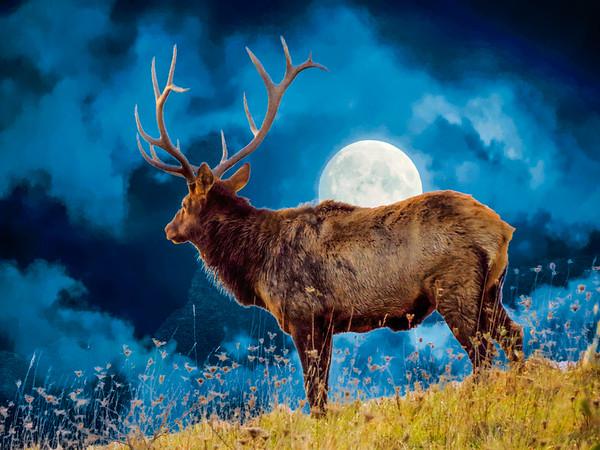 Large Bull Elk on moonlight hilltop.