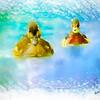 Pair of wood ducks swimming toward camera.