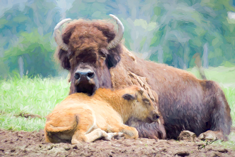 White Bison and calf