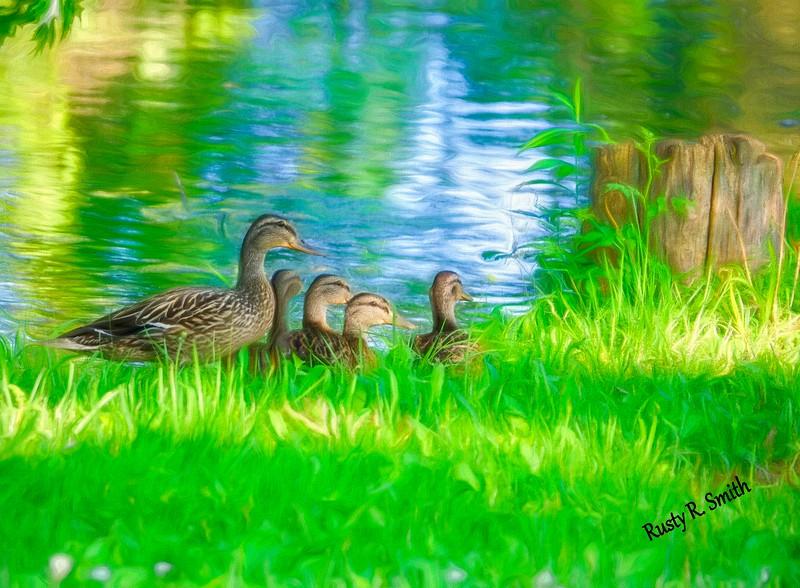 Female Mallard duck with four ducklings.