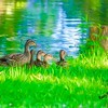 Female Mallard duck with four ducklings.