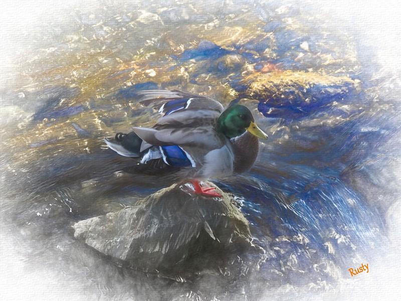 Duck on a rock.