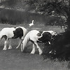 Two beautiful Gypsy Vanner horses grazing in a pasture.Two white