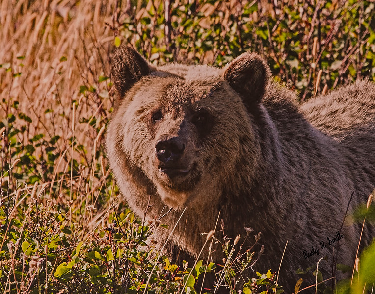 Grizzly stare.