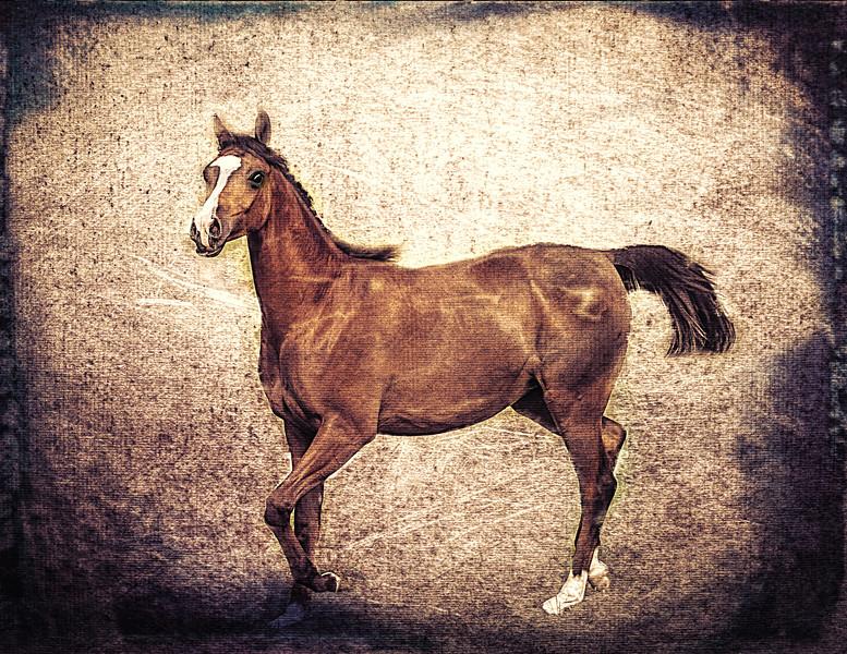 Arabian Filly