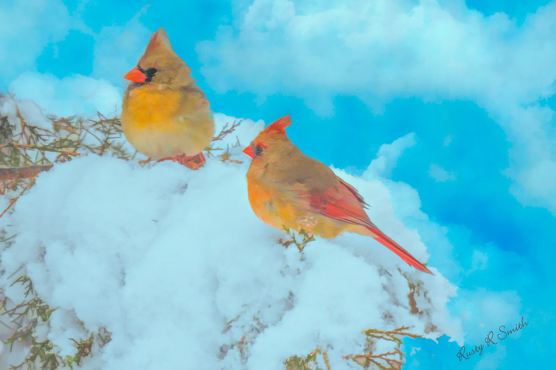 A pair of cardinals perched on snowy branch.