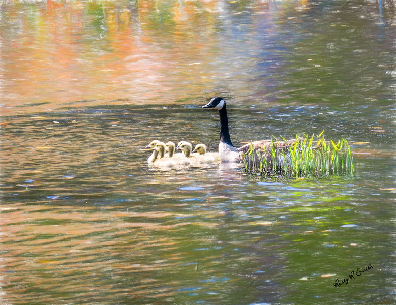 Canada goose and six goslings swimming together.