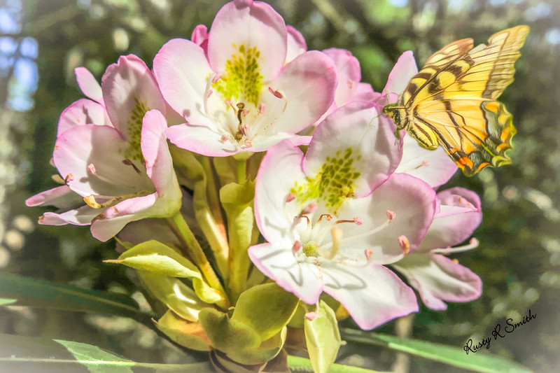Butterfly on wild rhododendron flower.