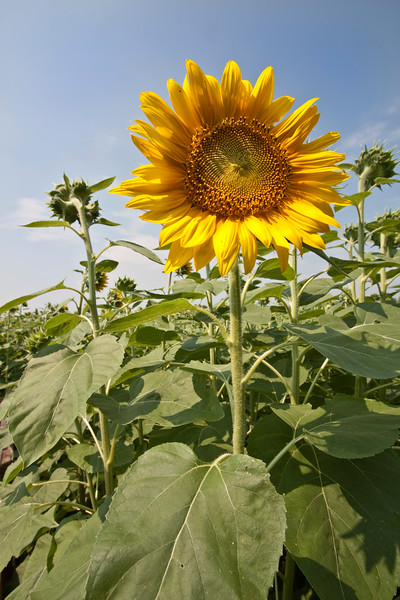 A vertical stock photograph of a single sun flower blossom, backlighting brings out the bright yellow color.Light blue sky.