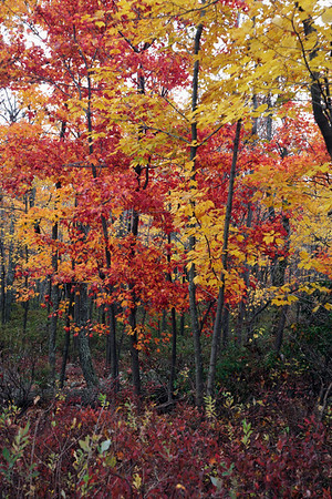 A vertical fine art photo of a northeastern hardwood forest in the fall.