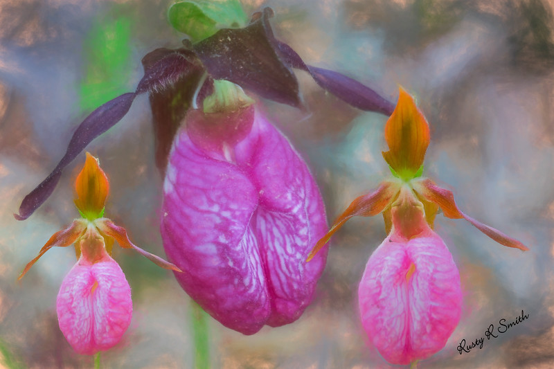 The ladyslipper family.