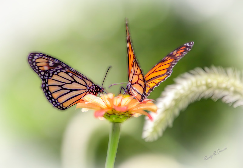 Two Butterflys working on a flower.